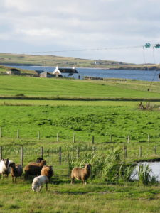 sheepinlandscape